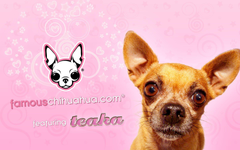 famous chihuahua wallpapers