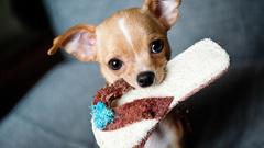 Chihuahua Wallpapers 24