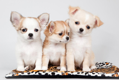 Wallpapers Puppy Chihuahua Dogs Three 3 Animals