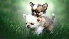 Chihuahua Puppies HD Wallpapers