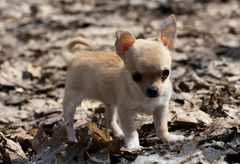 Chihuahua puppy on leaves wallpapers and image