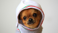 Animals dogs funny chihuahua wallpapers