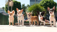 Chihuahua Wallpapers for personal use