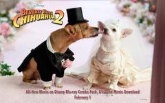Chihuahua Wallpapers and Screensavers