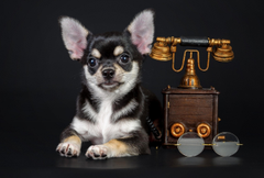 File Chihuahua Wallpapers