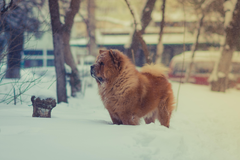 Chow Chow 5k Retina Ultra HD Wallpapers
