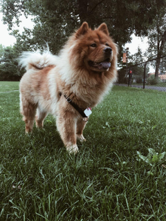Chow Chow Pictures HD