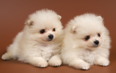 Fluffy puppies Chow Chow snow white Android wallpapers for
