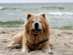 Chow Chow Puppies Widescreen Wallpapers Of High Resolution Dog