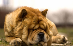 Photos Chow Chow Dogs Sleep Ginger color Animals