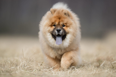 My Chow Chow HD Wallpapers New Tab Theme