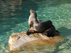 Eared Seal Wallpapers