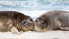 Wallpapers Seals Eared seal 2 Animals Staring 1366x768