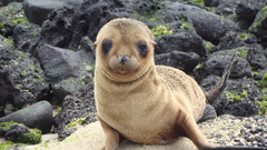 wallpapers Sea lion eared seal cute animals