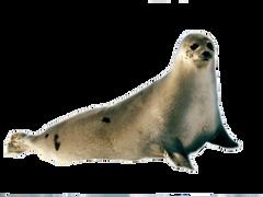 Seal PNG image
