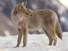 Fonds d Coyote tous les wallpapers Coyote