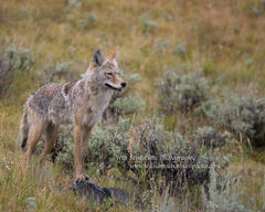 William Sebastian Photography coyote