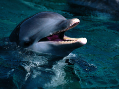 Dolphin Wallpaper Screensavers Pictures Videos and Site
