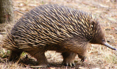 Echidna together with the platypus are the only extant mammals that