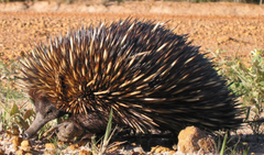 Are echidnas really platypuses