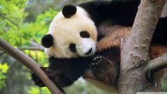 Panda Tree Giant Bear Desktop Wallpapers