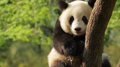 Giant Panda HD Wallpapers