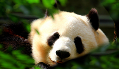 Giant Panda Wallpapers Pictures Image