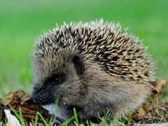 Cute Hedgehog 4K HD Desktop Wallpapers for 4K Ultra HD TV Tablet