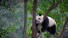 Lazy Panda Video Bing Wallpapers
