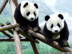 Giant Panda Wallpapers