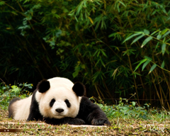 Desktop Wallpapers Giant panda Bears animal