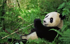 Wallpapers bear China reserve Wenchuan