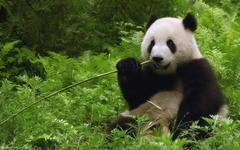 Giant Panda Eating Bamboo wallpapers