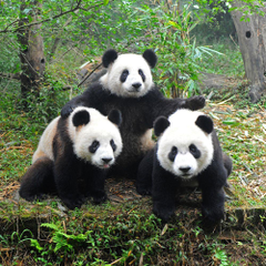 What s Wrong with Giant Pandas