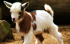 Goat HD Wallpapers