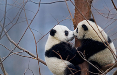 Wallpapers China bears reserve the giant Panda Wenchuan