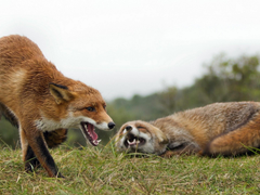 Couple Aggressive Fox Wallpapers Hd Wallpapers13