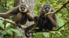 Animals Indonesia National Park gibbons wallpapers