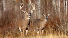Wallpapers For Whitetail Buck Deer Wallpapers