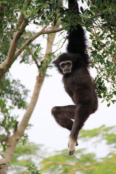 HD wallpaper gibbon long hanging elastic tree wood ash