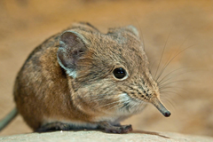 Shrew Wallpapers High Quality