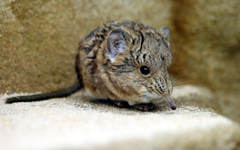 Facts About Elephant Shrew Food Environment and Life