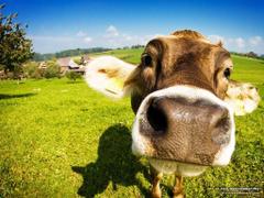 FunMozar Cow Wallpapers