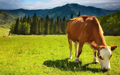 Cows image Cow HD wallpapers and backgrounds photos