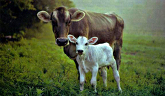 Cows image Cows HD wallpapers and backgrounds photos