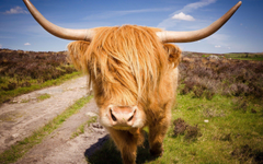Highland Cattle HD Wallpapers