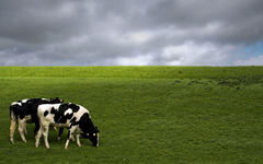 Cows Wallpapers