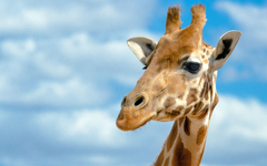 Giraffe HD Wallpapers