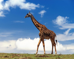 Giraffe Wallpapers Other Animals