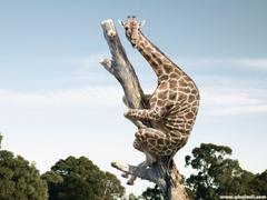 Funny giraffe climbing dry tree Dream Wallpapers